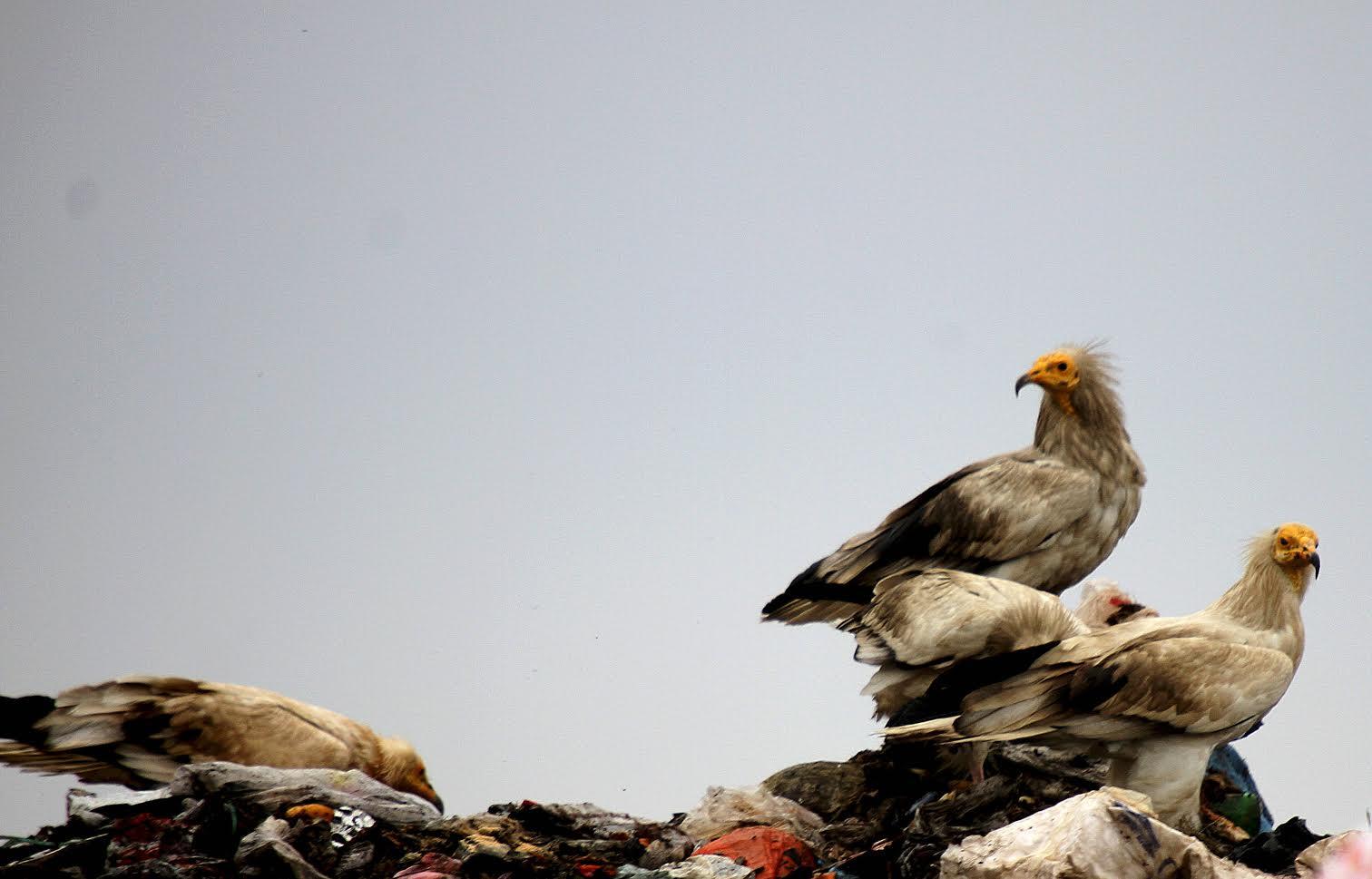 Küçük Akbabaları Koruma Projesi Hızla Devam Ediyor