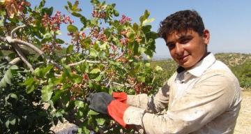 Silifke'de Antep fıstığı hasadı coşkusu